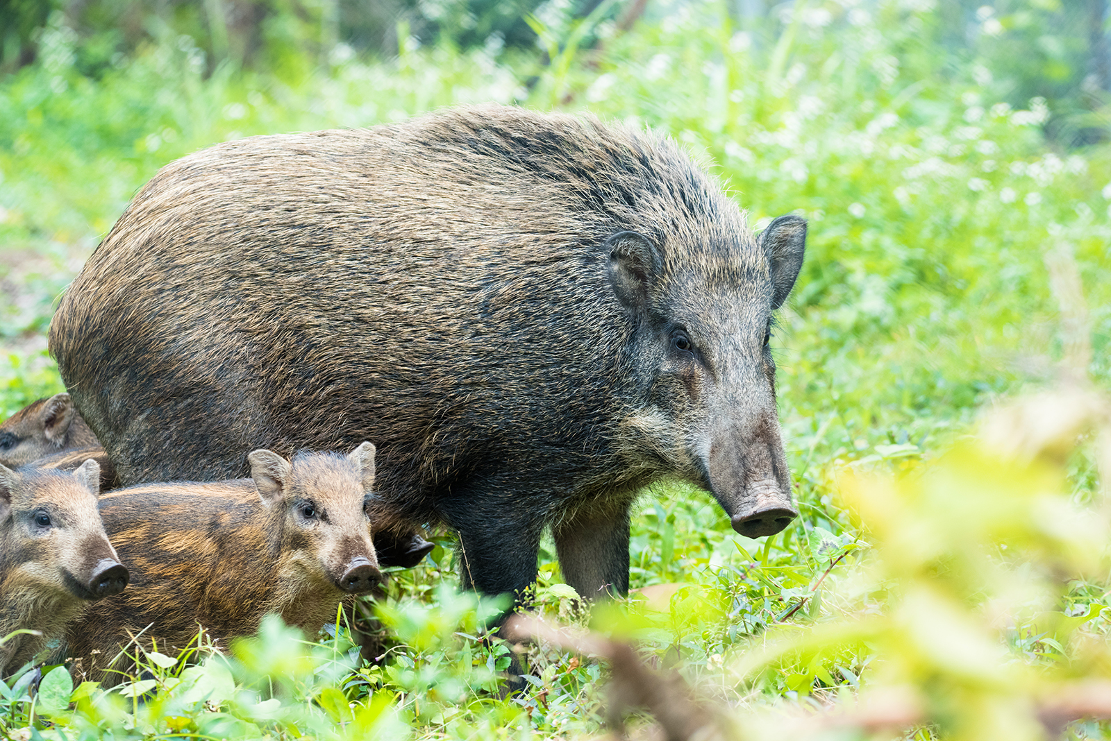 Wild boar family: Samples and Galleries Forum: Digital