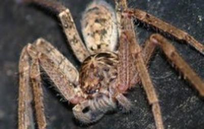 世界最大的蜘蛛排名 巨型猎人蜘蛛仅排第二