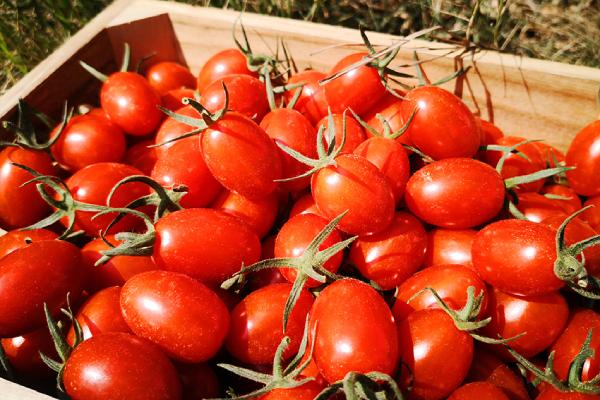 雲林口湖小番茄