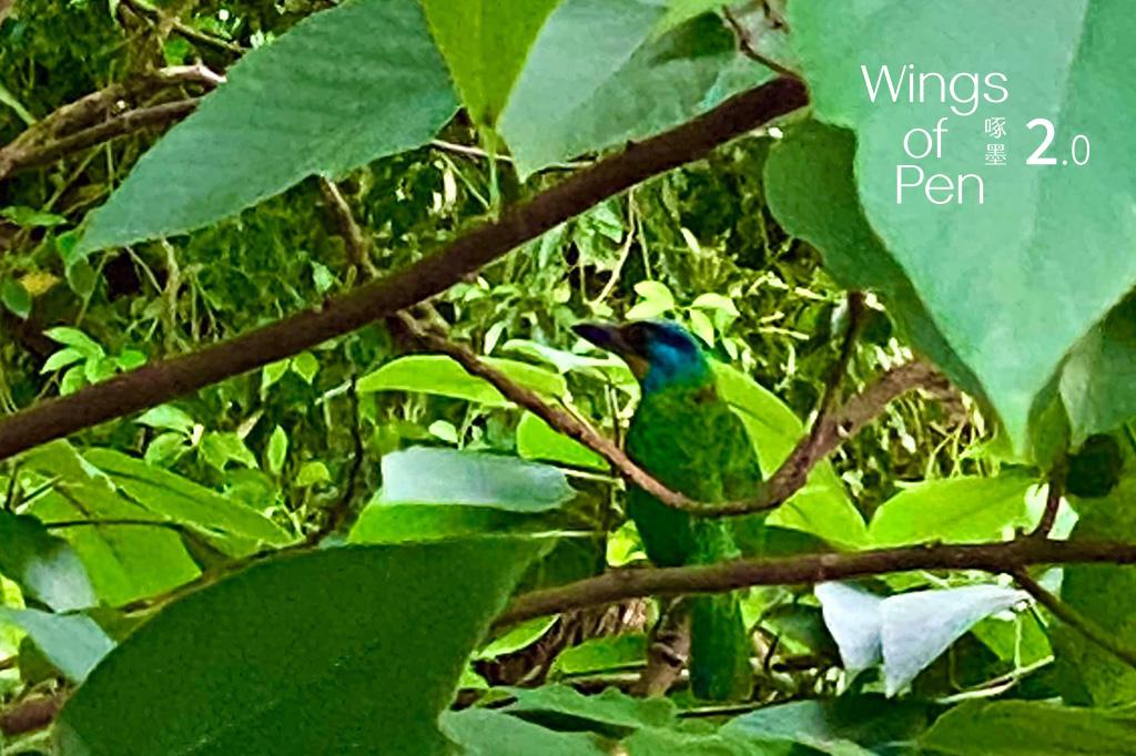 藏身園區樹梢的五色鳥